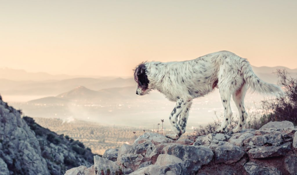 A shaggy white dog with black spots, climbing and exploring a rocky, mountainous scene, looking into the distance, with a peaceful town in the background and clear skies.