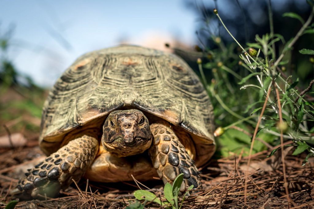 Close up of a Greek Tortoise looking at camera in natural undergrowth shot in a park in Athens, Greece. Grumpy and elderly appearance.